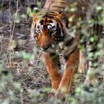 Voyage Inde Nord : Parc National Ranthambore