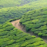 Trip India : Tea Plantations Munnar