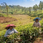 Travel in India : Munnar Tea Plantations