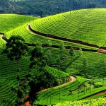 Travel in India : Darjeeling Tea